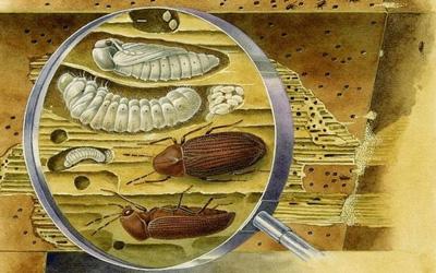 Жуки и личинки жука в дереве